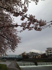 130407犀川の桜