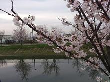 20130406桜.jpgのサムネイル画像
