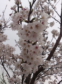 木村20130406桜2.jpgのサムネイル画像