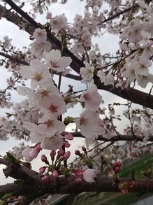木村20130406桜3.jpg