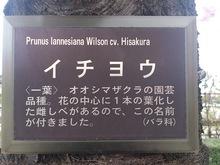 20130417県庁イチヨウ看板.jpgのサムネイル画像