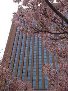 20130417県庁イチヨウ2.jpgのサムネイル画像