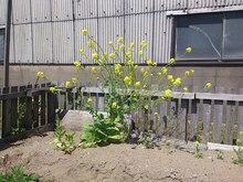 2014042503菜の花.jpg