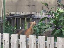 2014071106ピーマンと猫3.jpg