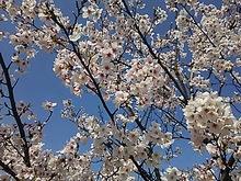 2015041001桜.JPG