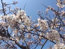 2016040802桜.jpg