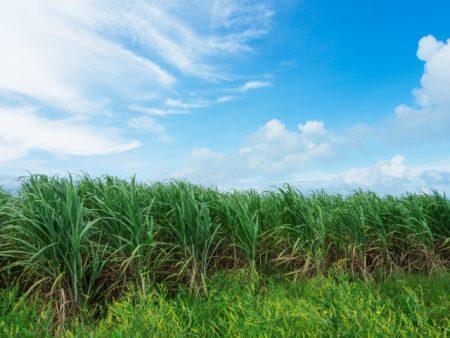 サトウキビ畑で働く人は腎臓病になってしまう?
