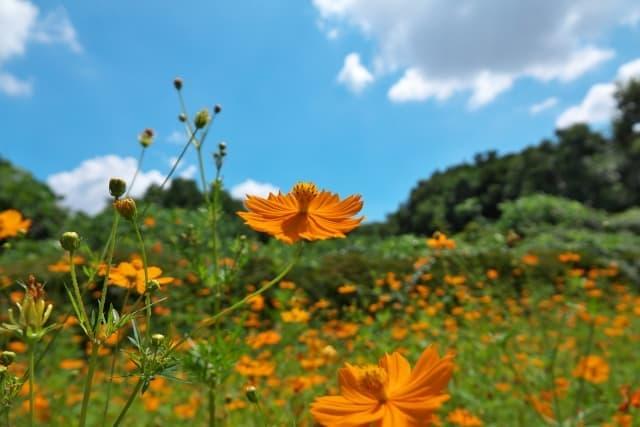 キバナコスモス 秋の空 風景写真